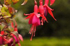Tomar - Brinco de princesa (Fuchsia)