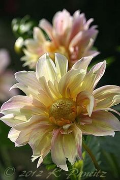 Dahlia 'Apple Blossom'  I will try to find this it's lovely.