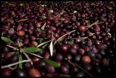 How to Pick and Prep Your Own Olives | One Green Planet