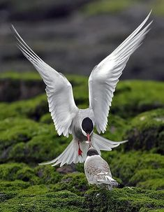 The longest migration  Every year the Arctic tern flies  around 50,000 miles (80,500km) from the Arctic to the Antarctic and back again, further than any other bird during its migration .  It performs almost all its tasks in the air.
