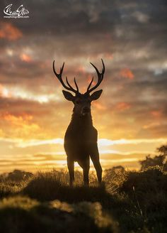 High On Fire - A great flaming dawn Deer Pictures, Scenery Pictures, Animal Pictures, Animals Of The World, Animals And Pets, Cute Animals, Wildlife Photography, Animal Photography, Beautiful Creatures