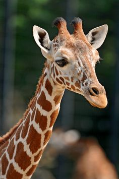 Giraffes are beautiful and amazing creatures. They are one of the most unique animals on Earth and are well deserving of their popularity. Giraffe gifts are a wonderful choice for any animal lover. Unique Animals, Cute Baby Animals, Animals Beautiful, Animals And Pets, Wild Animals, Animal Paintings, Animal Drawings, Giraffe Facts, Giraffe Pictures