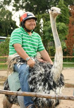 funny photos, riding an ostrich with a helmet