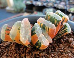 Haworthia Truncata Variegate Same guy in Japan. Absolutely Amazing. Last week he sold a similar one for $2600.00
