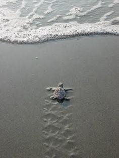 Tartaruguinha correndo pro mar <3
