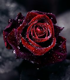 Gorgeous velvety, dew-dipped Red Rose. Beautiful & Tragic.