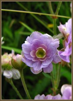 quu's garden * quun puutarha: New Geraniums