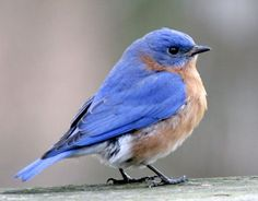 Our yard is a Bluebird haven...I've seen at least three pairs, and it is February!