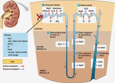 USMLE COMLEX Study Guides : First Aid Renal Physiology Part ll