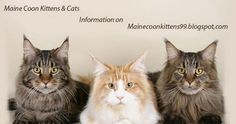 """Maine Coon Cat Colors """"A Rainbow of Colors Are Possible."""" - See more at: three young colorful maine coon cats Maine Coon Kittens, Cats And Kittens, Gato Maine, Most Popular Cat Breeds, Grand Chat, American Curl, Gato Grande, Exotic Cats, Long Haired Cats"""