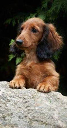 Beautiful shaded red long hair dachshund ❤️
