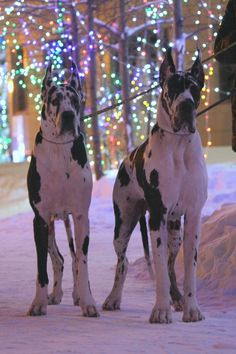 Great Dane Dog Breed Information Two beautyfull dogs Big Dogs, Large Dogs, I Love Dogs, Cute Dogs, Beautiful Dogs, Animals Beautiful, Cute Animals, Le Plus Grand Chien, Harlequin Great Danes