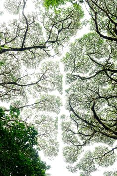 "Crown Shyness - 492 notes  Crown Shyness  These specific trees in Monteverde's cloud forest show respect to one another by not allowing their foliage to touch. The phenomenon is called ""crown shyness"" … basically they stop growing the moment they get to close to adjacent foliage."