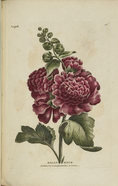 Antique botanical print from 1777 of hollyhock by Carrington Bowles