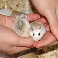 The Roborovski hamster is the smallest, quickest and liveliest species of hamster. A complete guide to the hamsters and their care. Robo Dwarf Hamsters, Robo Hamster, Hamster Care, Cute Hamsters, Ferrets, Hamster Accessories, Dog Accessories, Online Pet Supplies, Dog Supplies