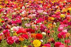 Ranunculus Planting tips. I love these Persian Buttercups!
