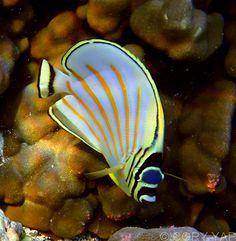 Ornate Butterfly Fish in Kahaluu Bay, Kona