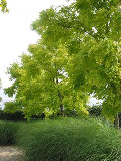 """Robinia pseudoacacia """"Frisia"""""""