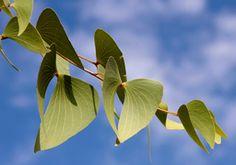 Mopane Tree Leaves