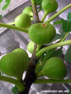 การปลูกมะเดื่อฝรั่ง