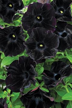 ~~Petunia 'Black Velvet'   add some drama to your garden with this multiple award-winning petunia. it's velvety black trumpets with a sweet fragrance offer design opportunities galore. black in your garden is the new neutral! perfect for containers or flower beds   Canadian Gardening~~