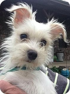 Sunbury, OH - Maltese/Chihuahua Mix. Meet Skyler, a dog for adoption. http://www.adoptapet.com/pet/17972600-sunbury-ohio-maltese-mix