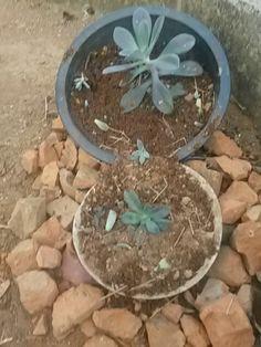 São as primeiras acabei de plantar
