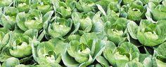 savez vous planter les choux à la mode à la mode Sprouts, Cabbage, Planters, 2013, Vegetables, Blog, Gardens, Chinese Cabbage, Backyard Farming