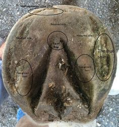 Examples of improving a horses foot---excellent barefoot trim info.