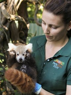 Red panda cub @Katie Moran thought you might enjoy this pic