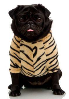 Black Pug Tiger Shirt @Alexandra Vega jajaj mi bebe tigree!! #pug