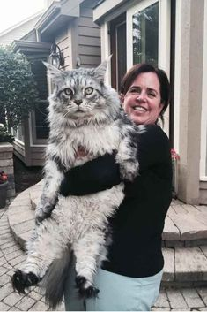 Pin by marvelhere on all dogs maine coon, huge cat, cats. Gatos Maine Coon, Maine Coon Cats, Cute Kittens, Cats And Kittens, Domestic Cat Breeds, Huge Cat, Animal Gato, Gato Grande, How To Cat
