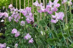 Growing with plants: HOW TO GROW SWEET PEAS FOR CUT FLOWERS using the cordon method