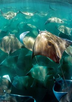 Holidaymakers freedive alongside 400 migrating stingrays in Baja California Sur, Mexico