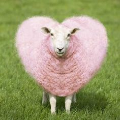 Photographic Print: Sheep Ewe Pink Heart Shaped Wool : 16x16in