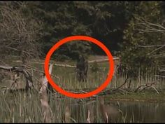 BigFoot Sightings from Around the Worls, Sasquatch, Yowi, Abonimable Snowman, All Sightings of Large Humanlike Creatures Real Bigfoot Pictures, Bigfoot Photos, Bigfoot Documentary, Pie Grande, Bigfoot Sasquatch, Bigfoot 2017, Finding Bigfoot, Bigfoot Sightings, Scary Facts
