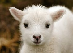 magicalnaturetour: Lil' Lamb by Crieffy. on Flickr ♥