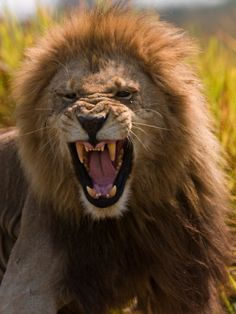 Picture of Male African Lion, Panthera Leo, with a Snarling Grimmace on His Face by Beverly Joubert - Photographic Print