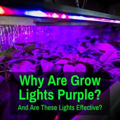 Do you know why many LED grow lights give off a purple light? I explain the reason and also tell you why these purple lights are not as good as you were led to believe. Light Purple, White Light, Led Fixtures, Cannabis Growing, Led Grow, Plant Growth, Photosynthesis, White Lead