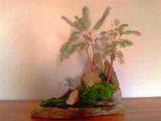Bonsai outdoor winterhart 2 Fichten, Picea auf Stein