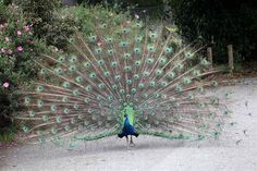 One of the most glorious tails of them all... the peacock tail.