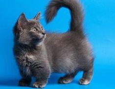 Gato Munchkin, Celebrities, Animals, Kitty Cats, Puppies, Google, Breeds Of Cats, Celebs, Animales