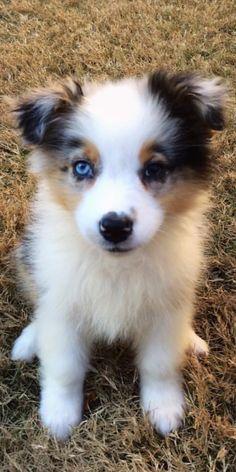 Aussie Puppy... Adorable!