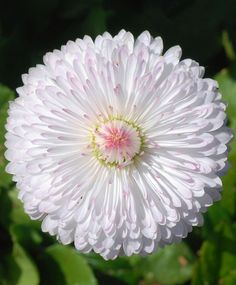 English Daisy (Bellis perennis), white flower with hints of pink   Маргаритка