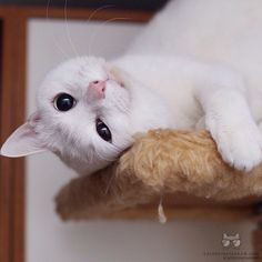 "From @bluestrings: ""Look at me! "" #catsofinstagram"