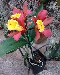 https://flic.kr/p/kR5C5A | Rhyncattleanthe Lily Marie Alma's 'MGR' (Rhyncattleanthe Orange Nugget x Cattleya Jalapa) #rhyncattleanthe #cattleya #orange #orchid #orchidsbyhausermann | Formerly a Blc. Flower - 2.5 inches Plant - 14 inches blooming with pot