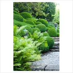 Bank of Dryopteris and Buxus sempervirens - Box topiary next to stone steps