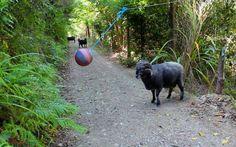 Cosa succede quando lasci un Tetherball nella foresta? Ecco l'esilarante video: Il Tetherball è un gioco del Nord America che prevede due sfidanti e un palo fissato al suolo al quale viene appeso con una corda un pallone da pallavolo. I due giocatori devono cercare di colpire la #tetherball #animali #videovirali
