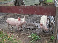 blurry visions from a moving vehicle: We Visited Smiling Hill Farm in Portland, ME today. Here are my favorite pics. The Three Little Pigs!
