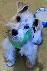 Lost Dog - Schnauzer Miniature - Plano, TX, United States 75024